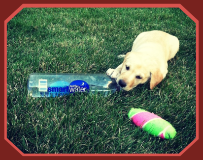 Advantage Pointing Lab drinking water